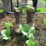 Here is EARTH Universities organic lettuce growing from a cowboy boot